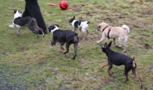 5 little dogs trotting IMG_4975